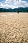Green beans rest in the drying beds at Finca Santa Sofia in the mountains of Tactic, Guatemala.