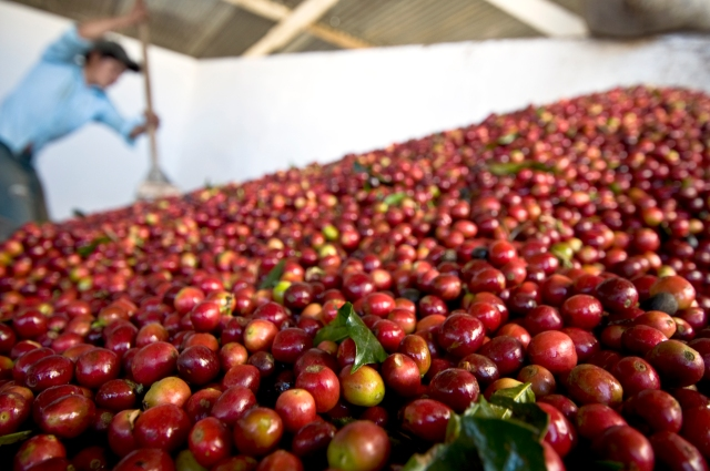 Freshly picked coffee cherries enter the wet mill at Finca Santa Sofia.
